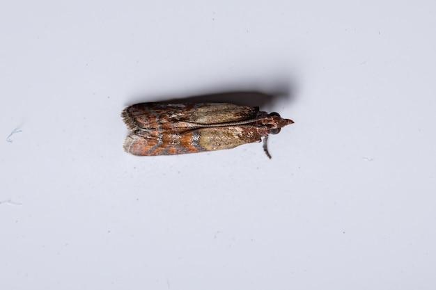 Индийская мучная моль вида plodia interpunctella