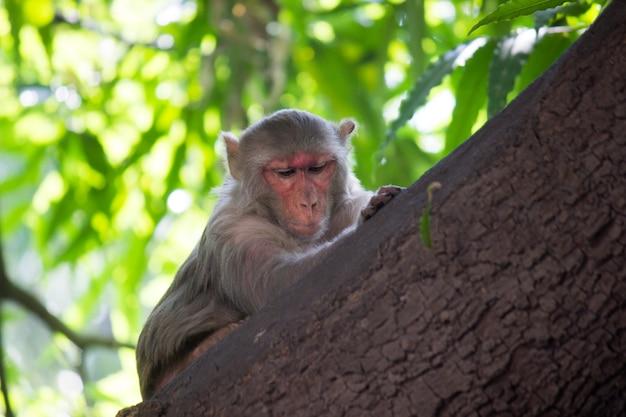 히말라야 원숭이라고도 알려진 인도 원숭이는 나무 줄기에 쉬고 있습니다.
