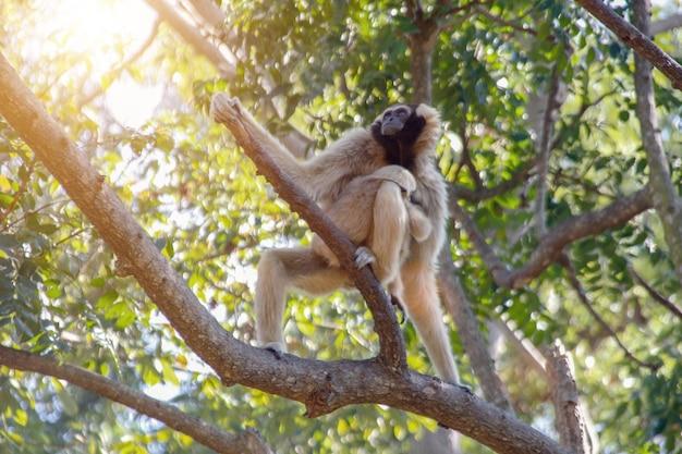 Indian monkey on tree with sun beam.