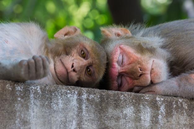 アカゲザルとしても知られるインドのサルは、短い昼寝をしたり、木の下で眠ったりします。
