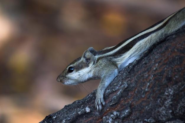 Indian palm squirrelまたはrodent、または木の幹にしっかりと座っているシマリスとしても知られています