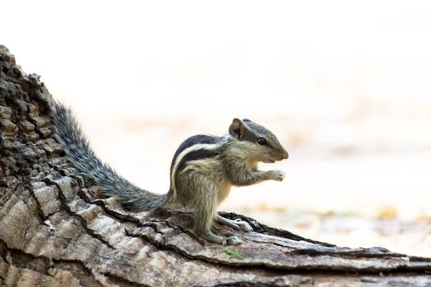 Indian palm squirrelまたはrodent、または一時停止しているように見える岩の上に座っているシマリスとしても知られています