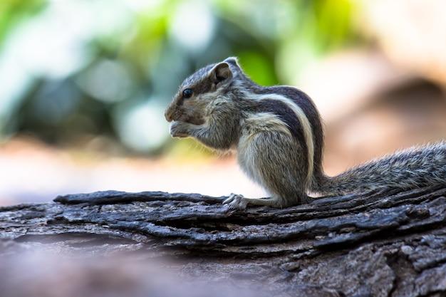 Indian palm squirrelまたはrodent、または岩の上に座っているシマリスとしても知られています