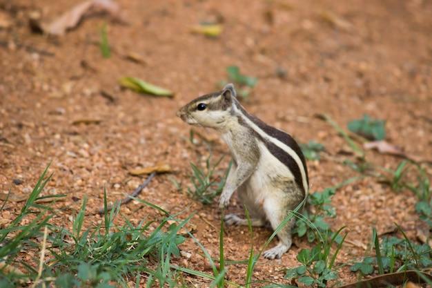 Indian palm squirrelまたはrodent、または地面にしっかりと立っているシマリスとしても知られています