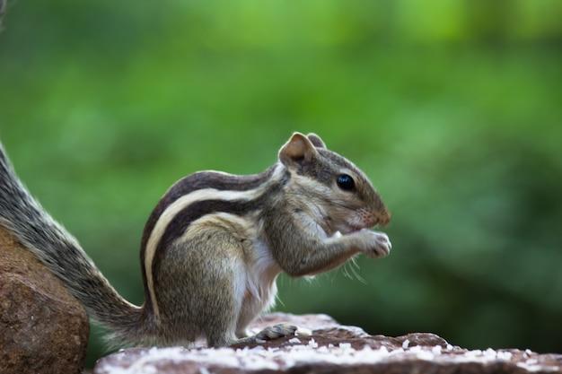 Indian palm squirrelまたはrodent、または岩の上にしっかりと立っているシマリスとしても知られています
