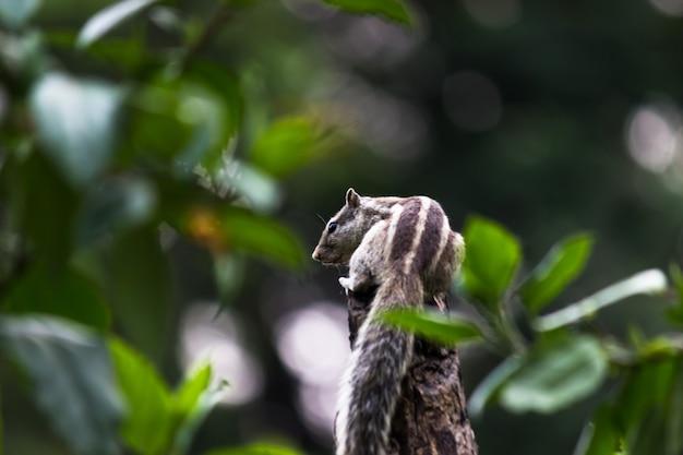 Indian palm squirrelまたはrodent、または木の幹にしっかりと立っているシマリスとしても知られています