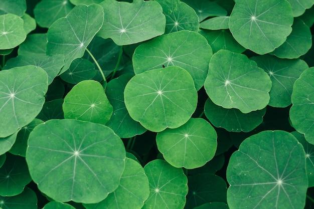 インドのペニーワーの葉