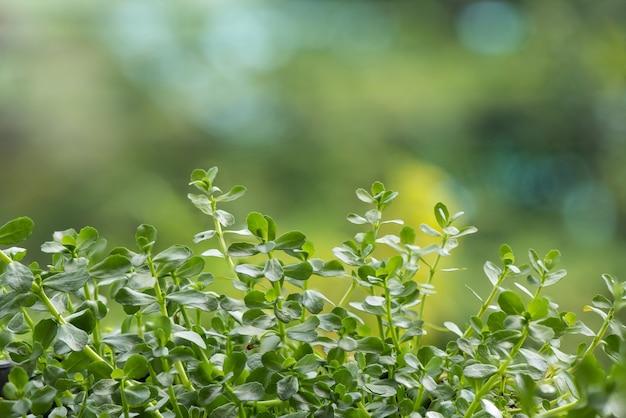 自然の表面にあるインドのツボクサまたはブラフミの木。