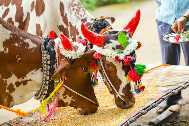 Индийский фестиваль полы, фестиваль быков.