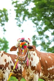 マハラシュトラ州とインド全土で雄牛と去勢牛を尊重するインドのポーラフェスティバル