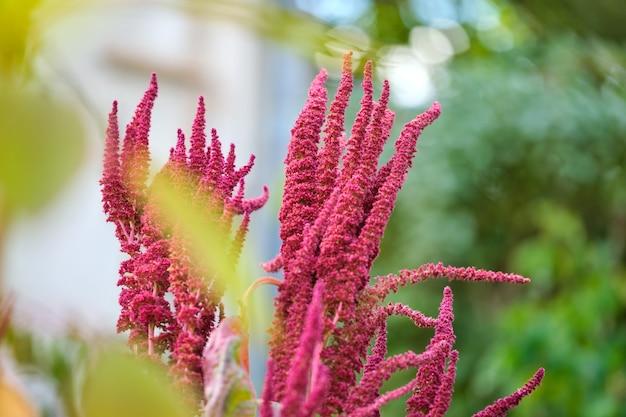 夏の庭で育つインドの赤いアマランサス植物。葉野菜、穀物、観賞植物、タンパク質とアミノ酸の供給源。