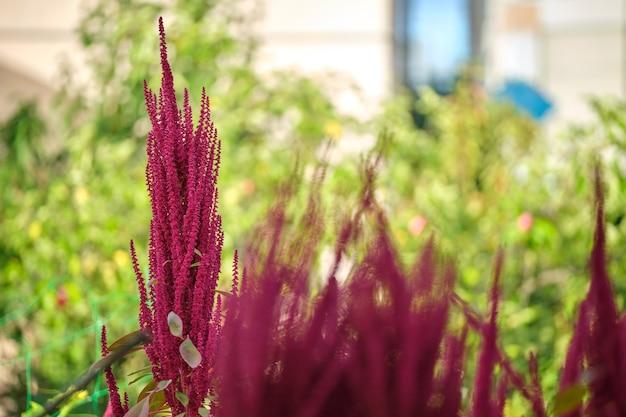 Индийский красный амарант, растущий в летнем саду. листовые овощи, злаки и декоративные растения, источник белков и аминокислот.