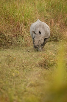 Indian rhinoceros in asia indian rhino or one horned rhinoceros unicornis with green grass