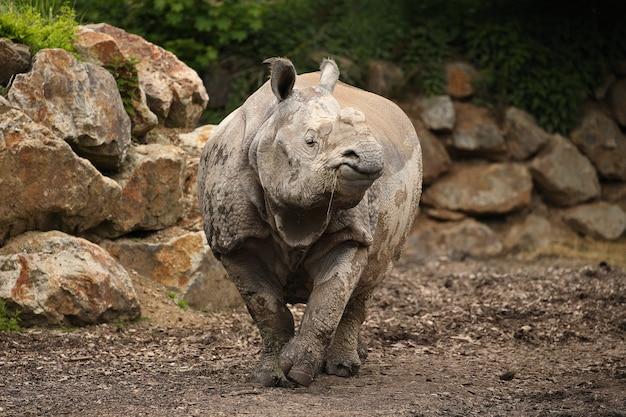 Indian rhinoceros in the beautiful nature looking habitat