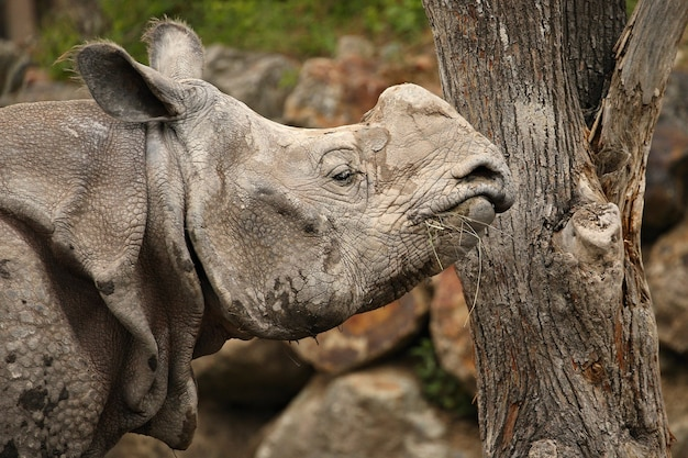 Rinoceronte indiano nel bellissimo habitat dall'aspetto naturale