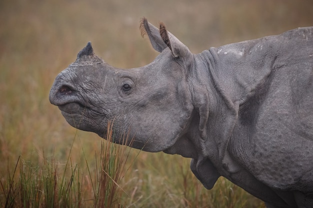 아시아의 인도 코뿔소 인도 코뿔소 또는 푸른 잔디가 있는 뿔이 있는 코뿔소 유니콘