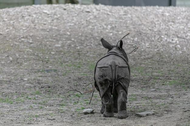 Indian rhinoceros walking through a field in a zoo