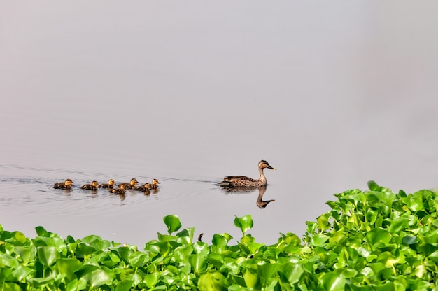 Indian spot billed duck and chicks