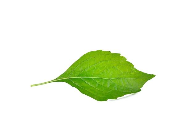白い壁にインドの木バジル