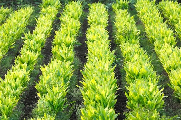 Indian turmaric field