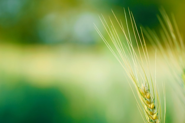 Indian wheat field