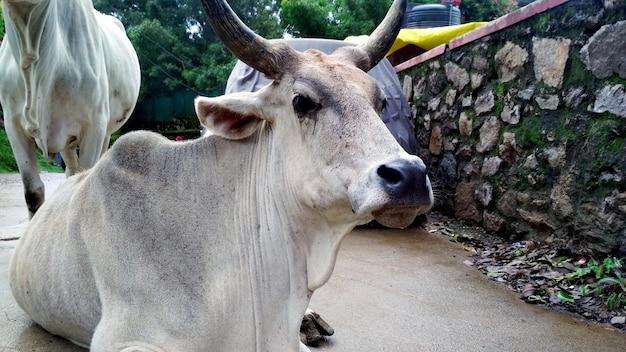 避暑地の通りに座っているインドの白い牛