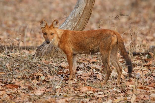 Posa del cane selvatico indiano nell'habitat naturale