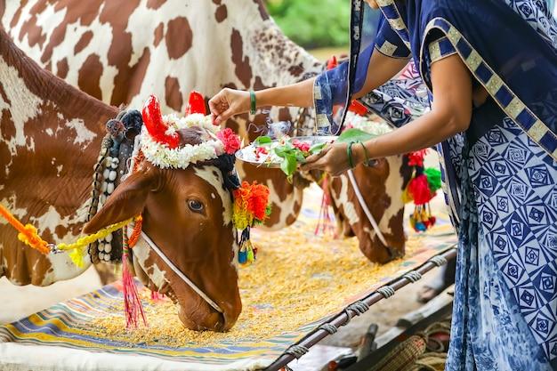 ポーラフェスティバルを祝うインドの女性、ポーラは去勢牛の動物フェスティバルです。
