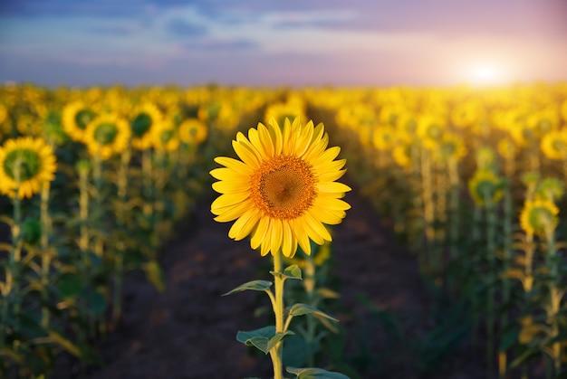 Individual sunflower.