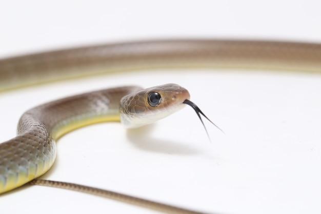 Индокитайская крыса змея изолирована