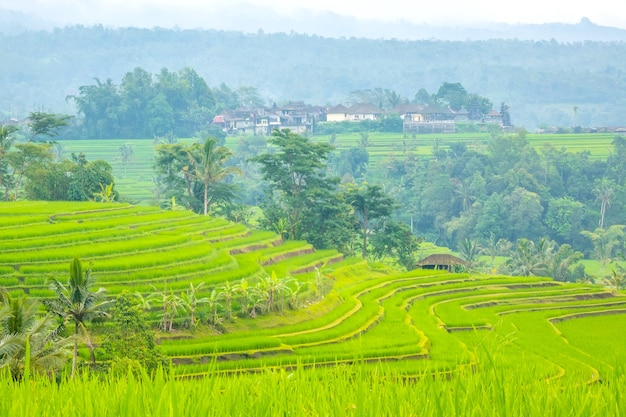 Indonesia. terraces of multi-level rice fields, palms and huts after the rain