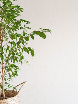 Indoor adult plant - ficus benjamin in a wicker basket on a white wall surface. copy space