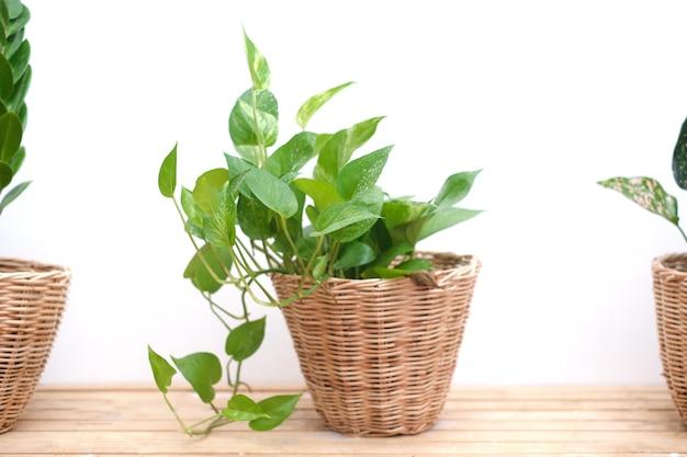 실내 공기 정화 관엽 식물