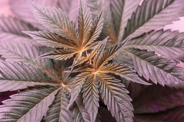 紫色のledライトの上面図の下の成長ボックスでマリファナを成長させる屋内大麻植物