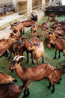 Indoor farm with many brown goats behind a fence