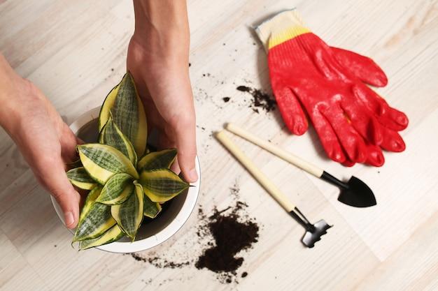 屋内花の家庭用植物の移植、栽培、ケア。趣味と自然との調和。土壌、排水、ポット。庭師の在庫上面図の手、手袋。高品質の写真