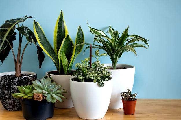 실내 가정 정원 식물. 다양한 꽃 수집 - 뱀 식물, 다육 식물, ficus pumila, lyrata, hedera helix, alocasia sanderiana. 홈 인테리어 파란색 배경의 세련된 식물학 구성입니다.