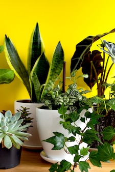 실내 가정 정원 식물. 다양한 꽃 수집 - 뱀 식물, 다육 식물, ficus pumila, lyrata, hedera helix, alocasia sanderiana. 홈 인테리어 노란색 배경의 세련된 식물학 구성입니다.