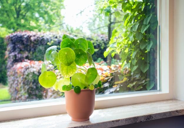 실내 식물 중국 돈 나무 pilea peperomioides 녹색 집 식물 현대 복고풍 decoratiion