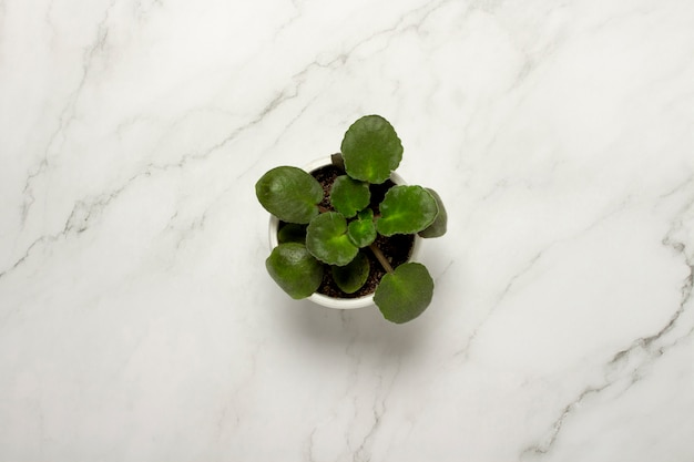 Indoor plant, flower on a marble surface. concept decor, floriculture, hobby. flat lay, top view