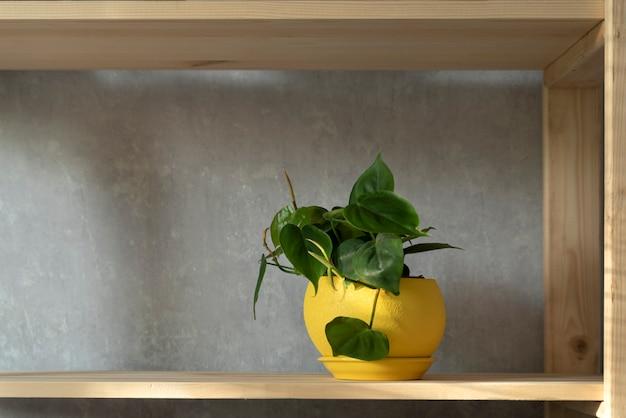 밝은 노란색 냄비에 있는 실내 식물은 선반에 있습니다. 내부에 있는 scandens 식물. 관엽식물.