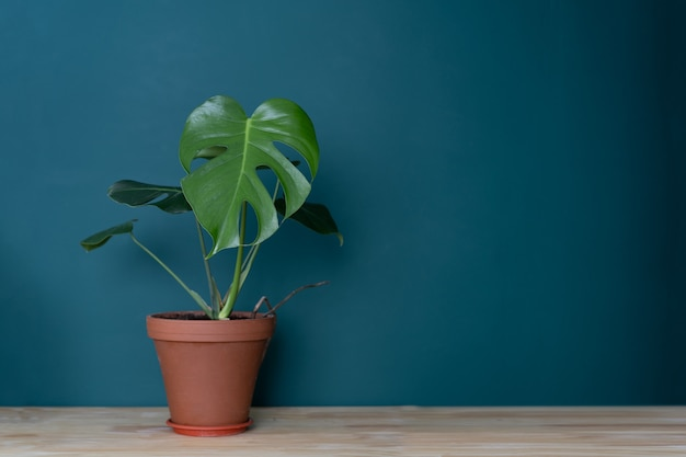 Indoor plant in the interior - monstera on a wooden tabletop against a green wall