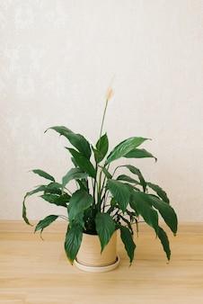 Комнатное растение спатифиллум с белым цветком в керамической вазе в комнате на полу