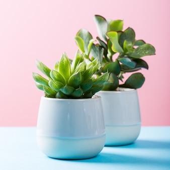 Indoor plant succulent plant in gray ceramic pot