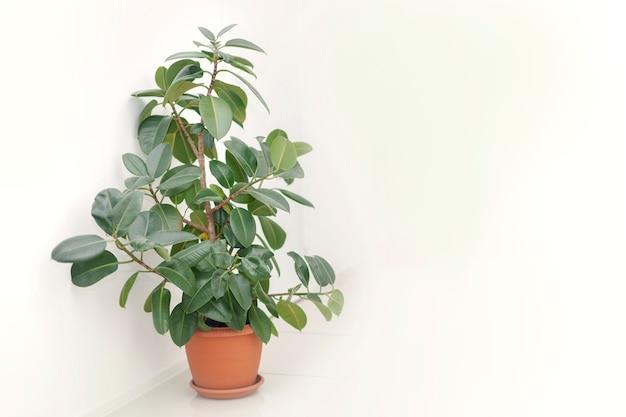 Indoor plants with ficus