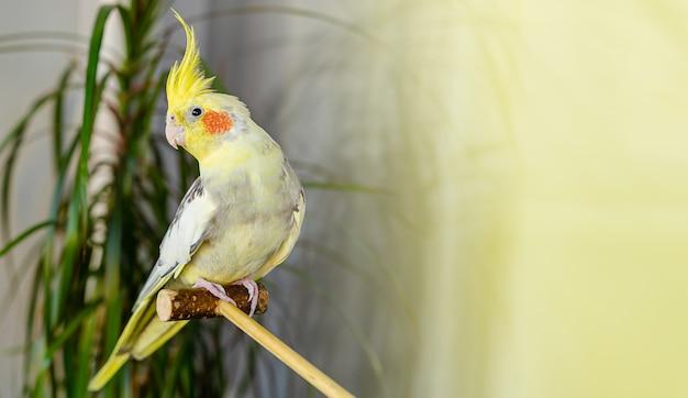 Крытый портрет попугая корелла, сидящего на деревянной палке. копировать пространство