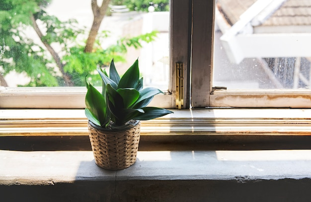 Indoor potted houseplant by the window
