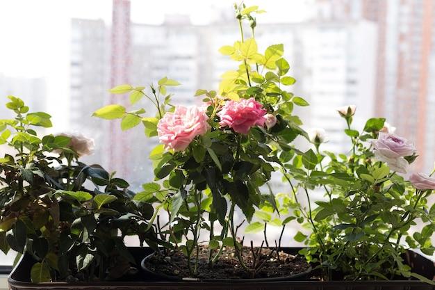 Комнатные розы в домашнем саду, розы в горшках