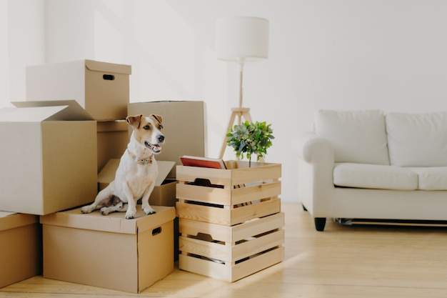 Indoor shot of little pedigree dog poses on cardboard boxes, removes in new dwelling with owners