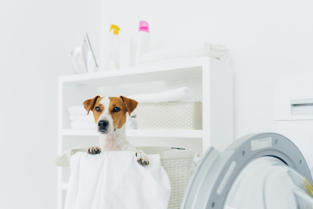 Indoor shot of pedigree dog in laundry basket, looks into distance